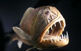 Fangtooth Balığı