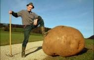 Dünyanın en büyük patateslerinden