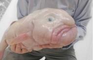 Damla Balığı